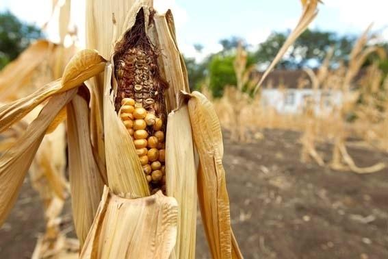 Минэкономики снизило прогноз производства кукурузы